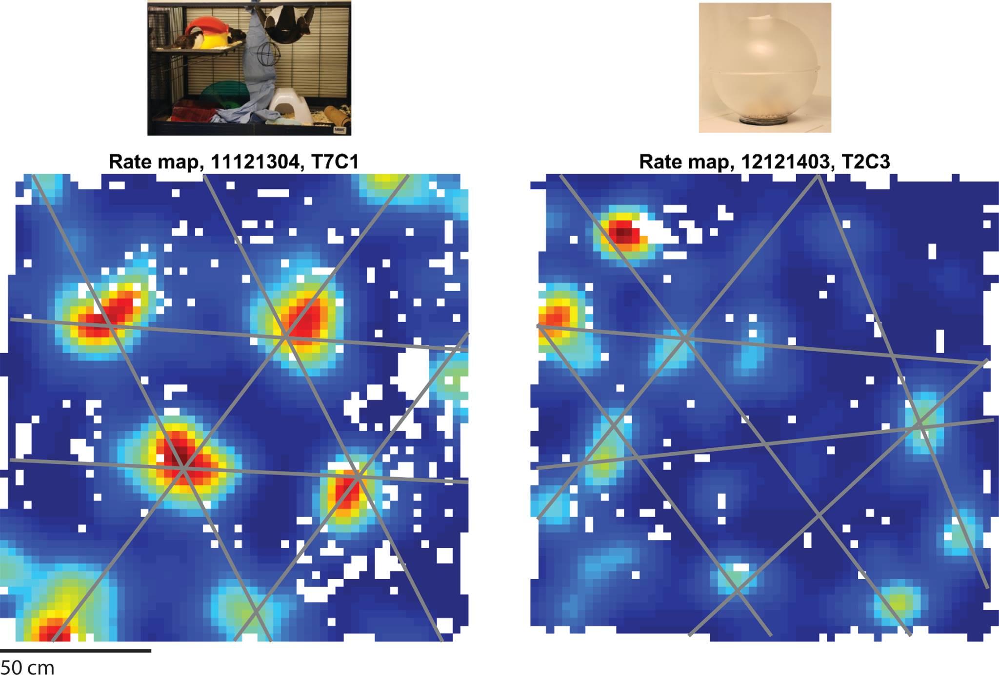 Til venstre: En gittercelle fra en rotte oppvokst i beriket miljø, første gang rotta løper fritt i en åpen boks (150 x 150 cm). Grå linjer er lagt over toppene, dvs. de stedene i boksen hvor cellen har høyest fyringsrate (varme farger). Den mørkeblå fargen viser hvor i boksen cellen er stille. Linjene illustrerer det repeterende trekantmønsteret som dekker boksen. Til høyre: En gittercelle fra en rotte oppvokst i et sfærisk miljø, fra den tredje dagen rotta løper fritt i boksen. Grå linjer er strukket mellom toppene hvor cellen har høyest fyringsrate. Legg merke til hvordan symmetrien mellom toppene er brutt, sammenliknet med cellen fra det berikede dyret.